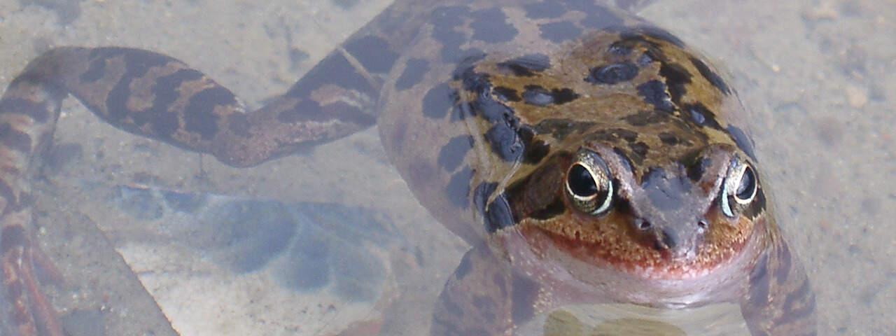 Amphibienlaichzug
